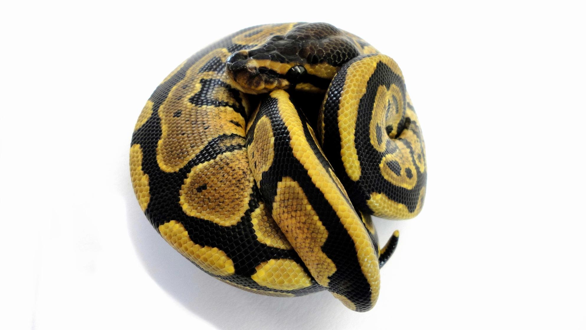 Specter Königspython von Amazing Reptiles
