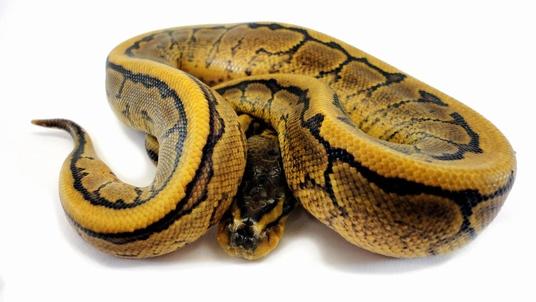 Specter Pin Ballpython von Amazing Reptiles