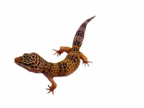 Leopardgecko kaufen Reptilienshop