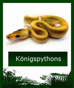Königspython Ballpython online kaufen - Zur Übersicht der Abgabetiere