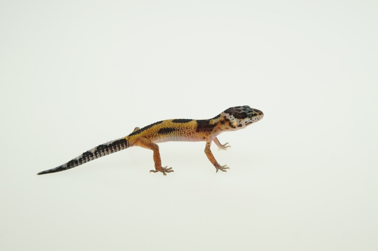 0.1 Leopardgecko, bold Bandit jungle Giant