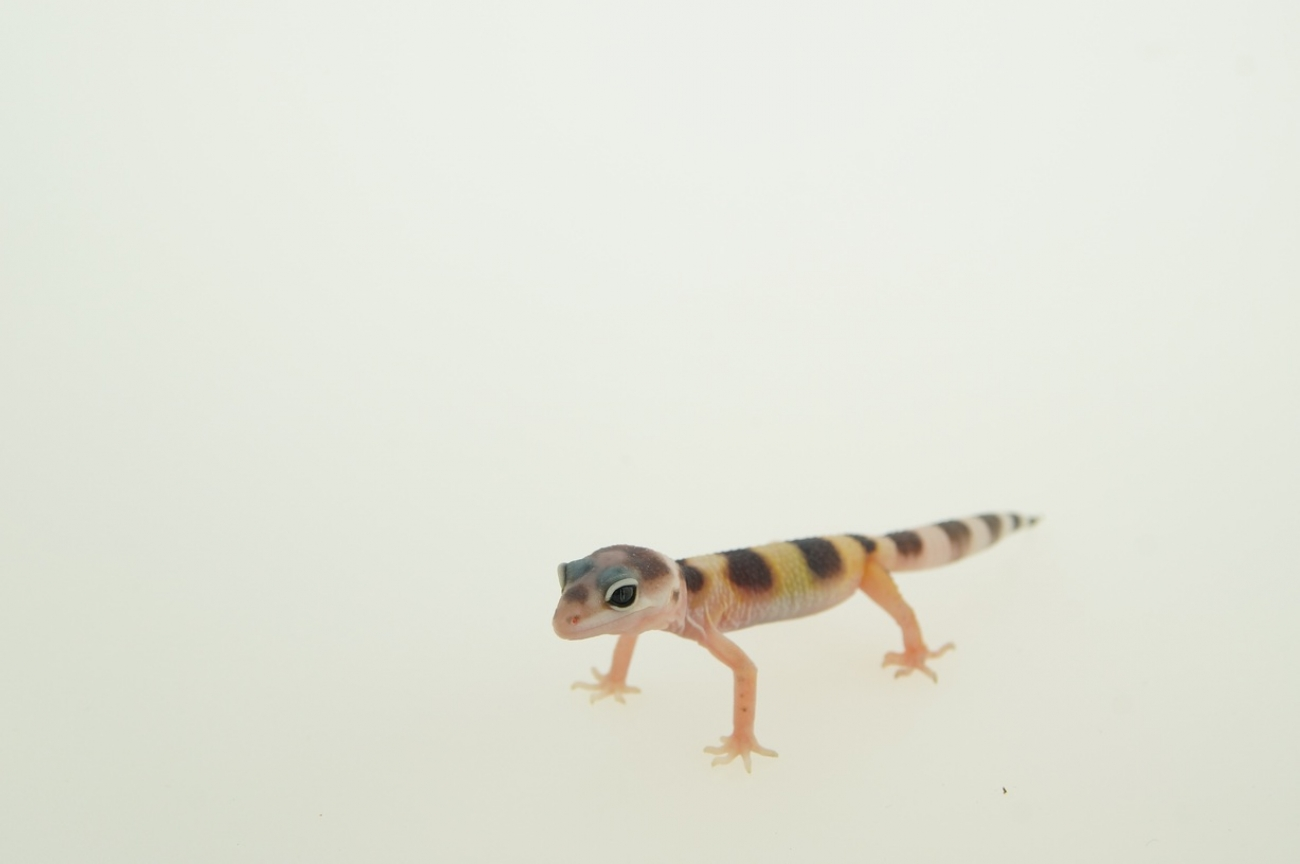 0.0.1 Leopardgecko,  white and yellow
