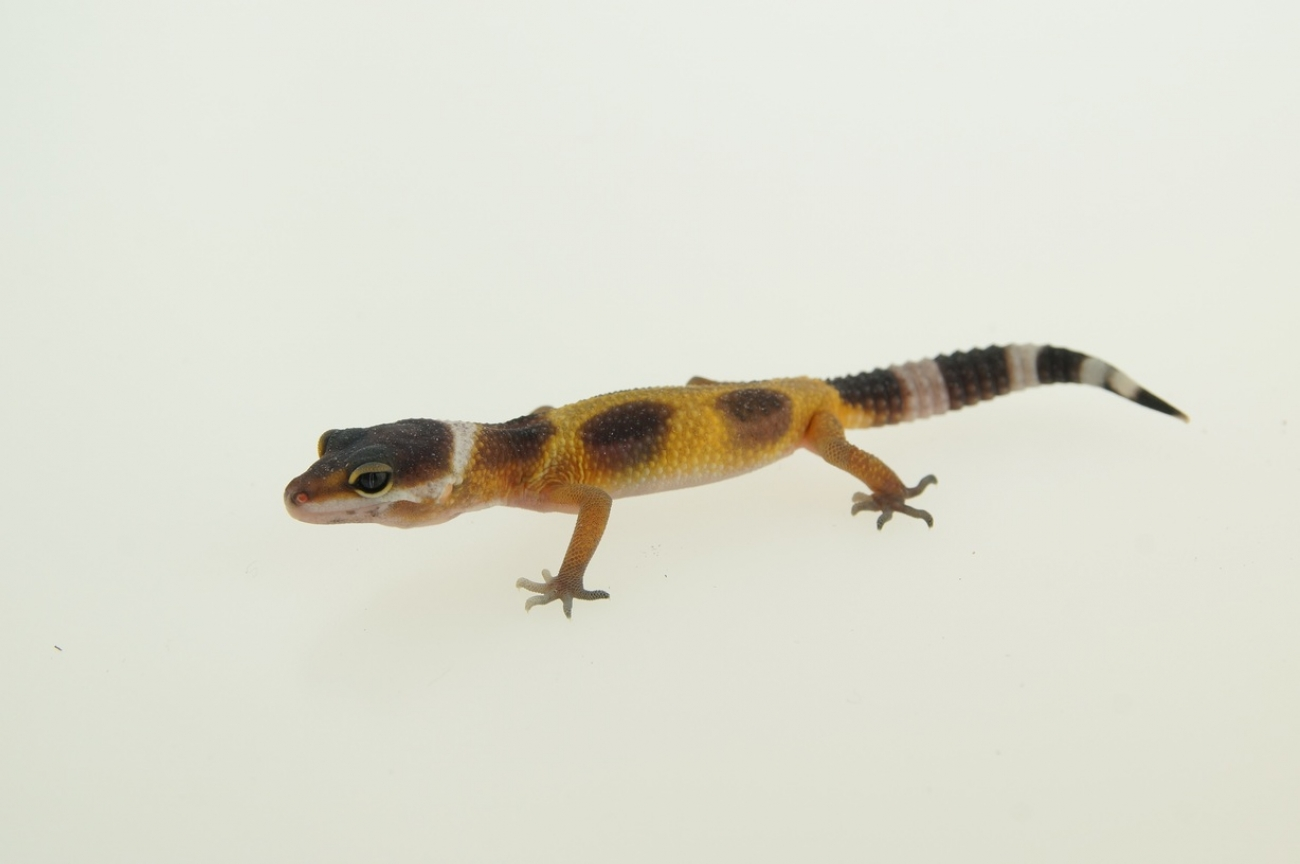 0.1 Leopardgecko, blood jungle