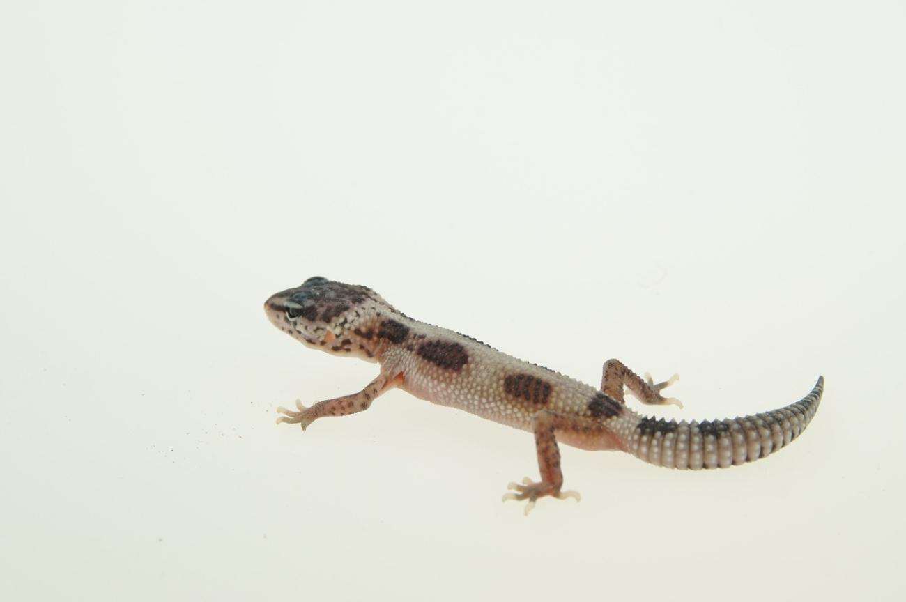 0 1 Leopardgecko, Mack Snow Hypo jungle ghost - MD-Terraristik