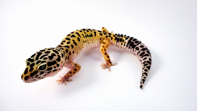 0 1 leopardgecko nominat kopie md terraristik