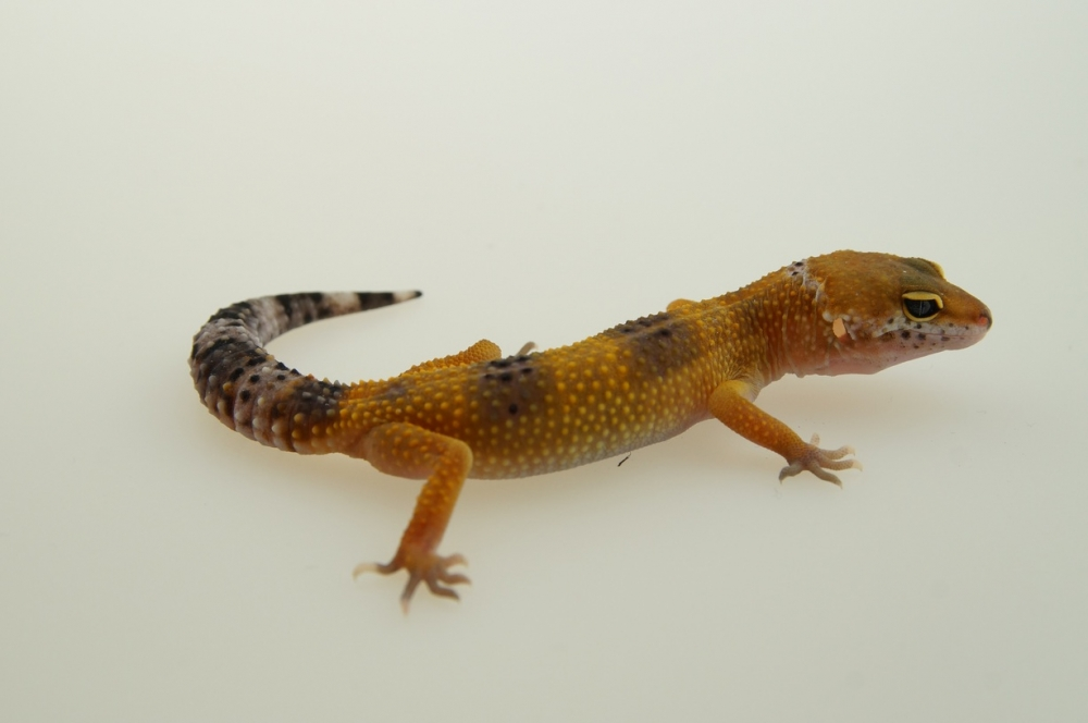 0.1 Leopardgecko, blood