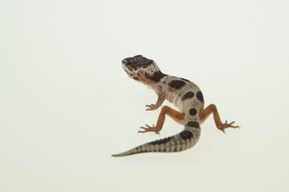 0.1 Leopardgecko, Mack Snow Hypo jungle ghost