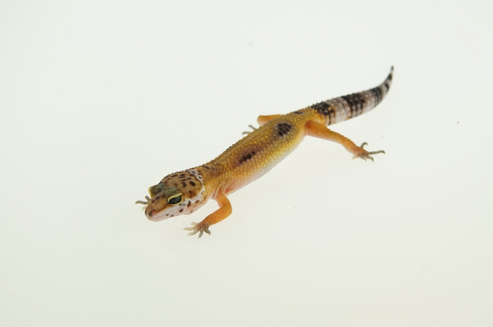 0.1 Leopardgecko, blood striped
